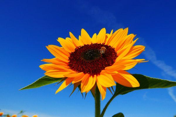 Duden | Sonnenblume | Rechtschreibung, Bedeutung, Definition, Herkunft