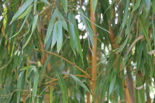 bambus ableger bambus schneiden mein sch ner garten wie. Black Bedroom Furniture Sets. Home Design Ideas